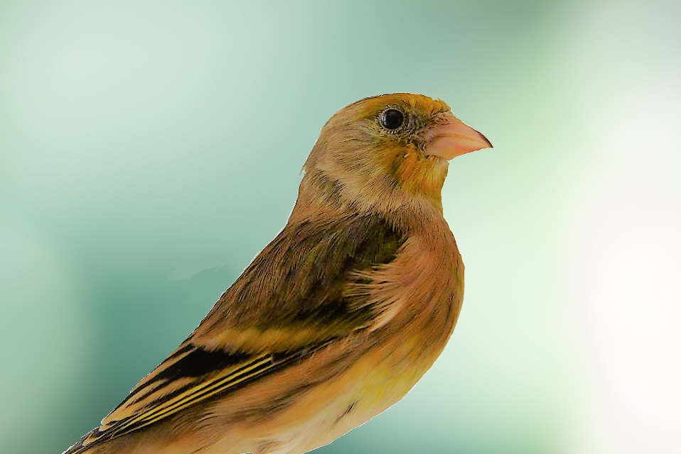 The Breeding Of Canary X Goldfinch Mule Mbirdtraining