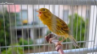 Timbrado canary